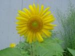 2009/8/18ひまわり咲きました!!去年より背が高く、花も大きいです